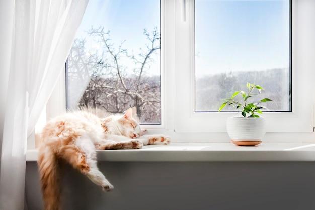 Biało-czerwony puszysty kot śpi na parapecie salonu