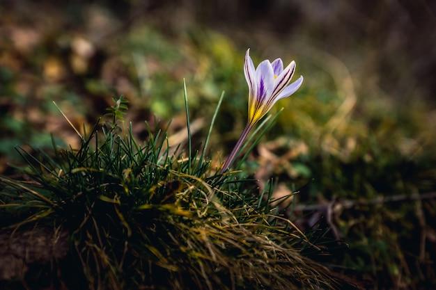 Biało-fioletowy krokus w ciemnozielonej trawie. co roku pierwiosnki wychodzą wcześnie z ziemi. koniec lutego. pojawiły się pierwsze krokusy. krasnodar territory, anapa.
