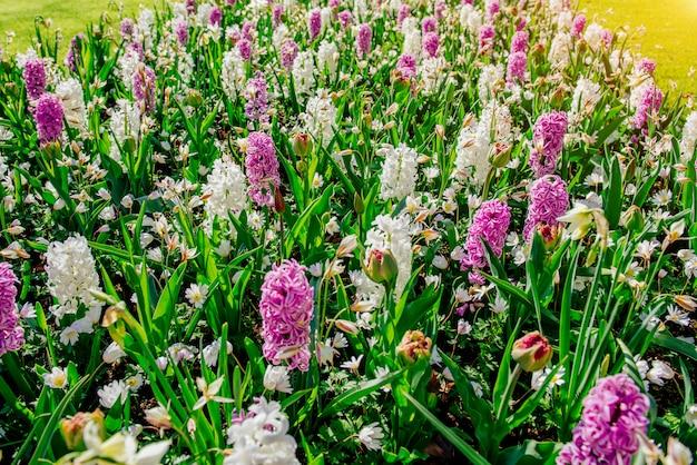 Biało - różowe hiacynty w ogrodzie.