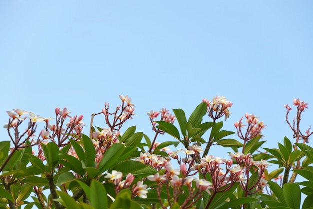 Biało-różowe kwiaty plumeria rosną na drzewie na tle błękitnego nieba, tło