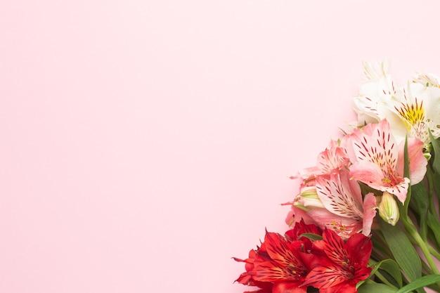 Biało-różowy kwiat alstroemeria na różowo