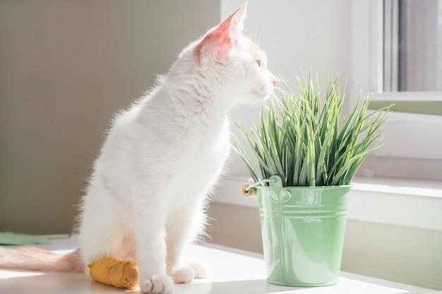 Biało-rudy kot 3-4 miesiące wygląda przez okno. kotek ze stopą z żółtym bandażem w promieniach słońca obok rośliny doniczkowej