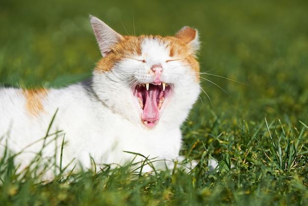 Biało-rudy kot ziewa leżąc na trawie. selektywna ostrość