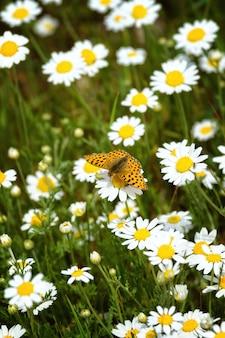 Biało-żółte stokrotki z motylem malinowym malinowym (argynnis paphia)