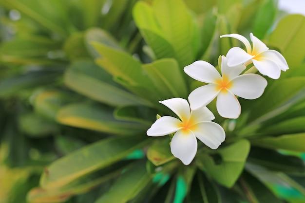 Biało-żółty kwiat frangipani tropikalny, plumeria spa kwiat kwitnący na drzewie.