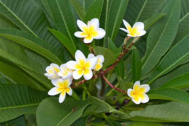 Biało-żółty leelawadee (plumeria pudica) w ogrodzie
