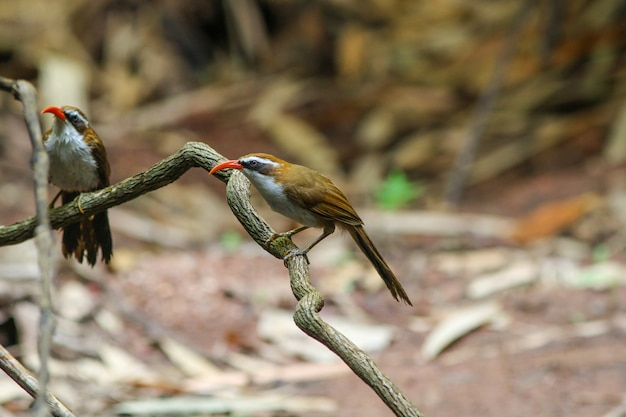 Białobrewy scimitar-babbler