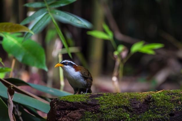 Białobrewy scimitar-gaduła (po matorhinus schisticeps) ptak w przyrodzie