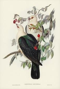 Białogłowy gołąb z owocu (carpophaga leucomela) zilustrowany przez elizabeth gould