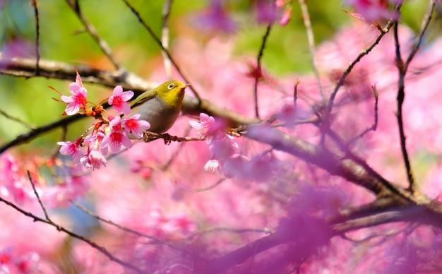 Białooki ptak na czereśniowym drzewie