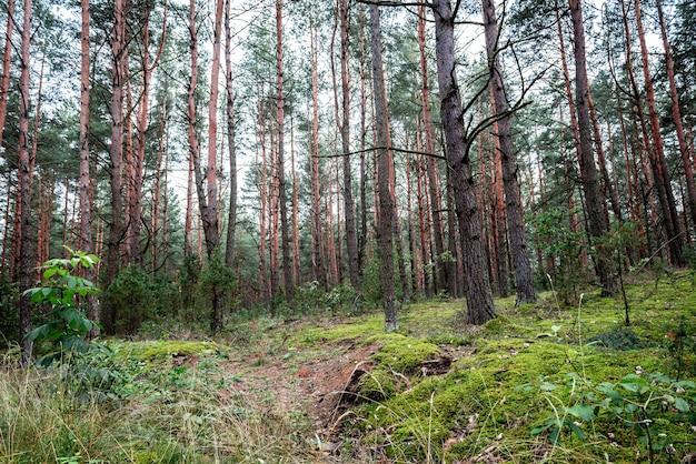 Białoruski krajobraz lasów wczesną jesienią.
