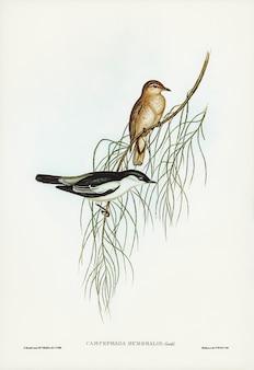 Białoskrzydła kukułka (campephaga humeralis) zilustrowana przez elizabeth gould