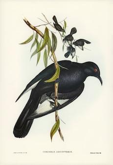 Białoskrzydły kruk (corcorax leucopterus) zilustrowany przez elizabeth gould