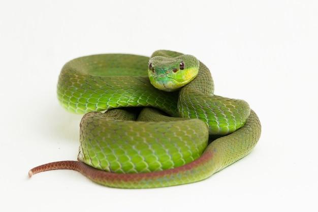 Białowargi wąż green pit viper na białym tle