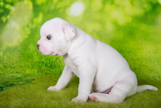 Biały american bullies szczeniak na zielonym tle
