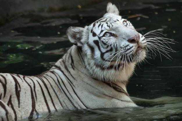 Biały bengalski tygrys powoli wading w płytkiej wodzie
