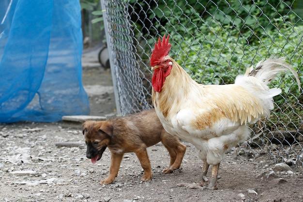 Biały betong kurczak i mały brązowy pies w suchym ogrodzie