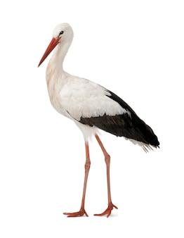 Biały bocian - ciconia ciconia na białym odosobnionym