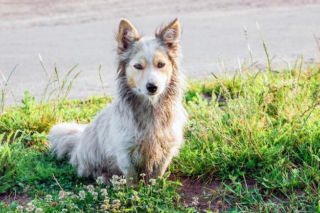 Biały, brudny, kudłaty pies siedzi na trawie po spacerze