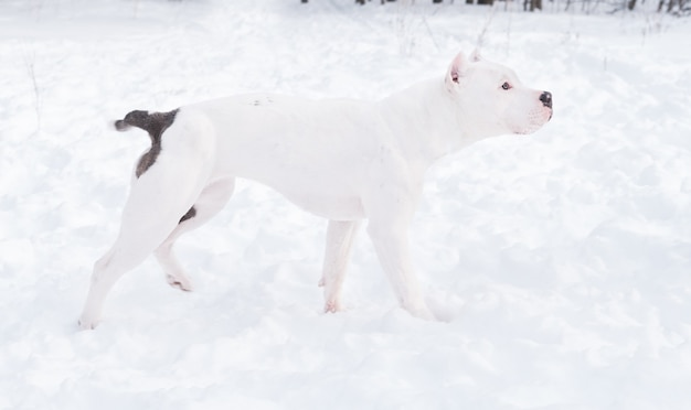 Biały buldog amerykański szczeniak stojący w zimowym lesie. pies w śniegu. wysokiej jakości zdjęcie