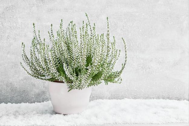 Biały calluna vulgaris lub pospolity wrzos kwitnie w białego kwiatu garnku.