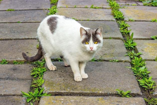 Biały cętkowany kot na płytach chodnika patrzy w oczy