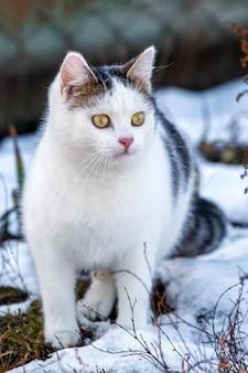 Biały cętkowany kot na śniegu, który coś ogląda