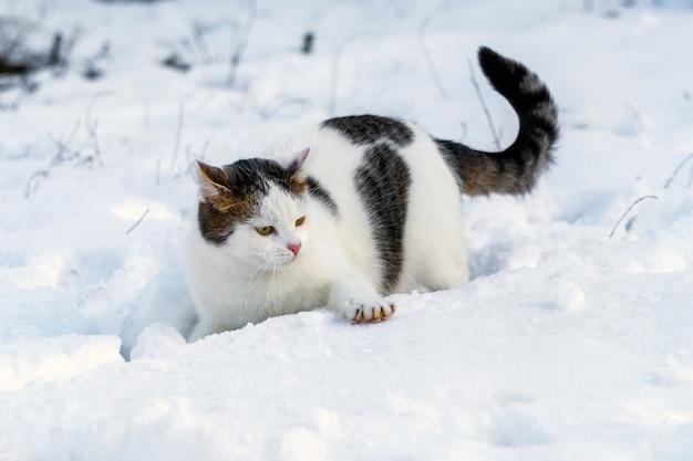 Biały cętkowany kot zimą na śniegu