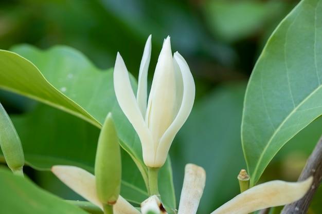 Biały champaka kwiatu drzewo i zieleń liść
