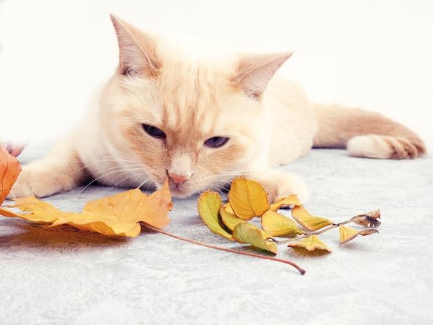 Biały czerwony tajlandzki kremowy punkt kot bawić się z jesień liśćmi, jesień, liście spadają