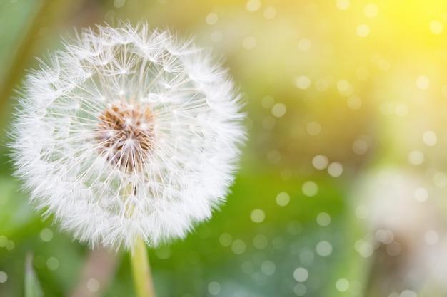 Biały dandelion, zbliżenie, naturalny wiosny tło