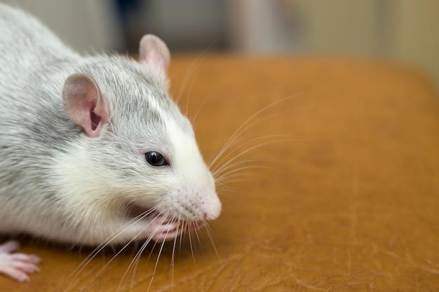 Biały domowy szczur je chleb