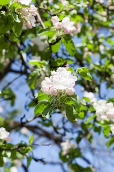 Biały duży kwiatostan jabłoni w sadzie
