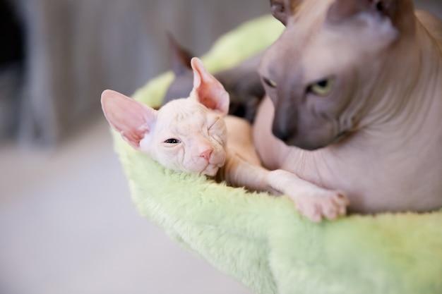 Biały dwumiesięczny kot don sphinx na tle jasnozielonego futra, odpoczynek i sen z mamą