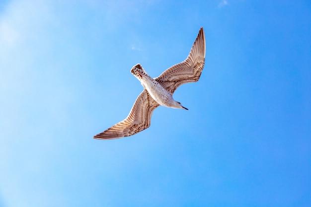Biały frajer unosi się na niebie. lot ptaka. mewa na błękitne niebo