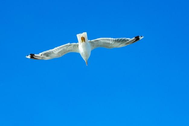 Biały frajer unosi się na niebie. lot ptaka. mewa na tle niebieskiego nieba