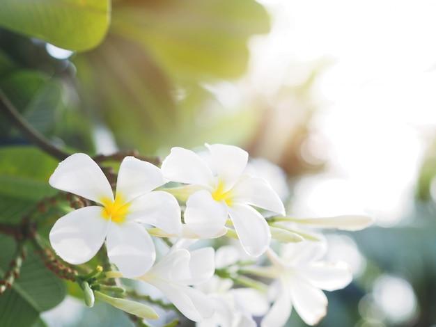 Biały frangipani (plumeria) kwiat i liście