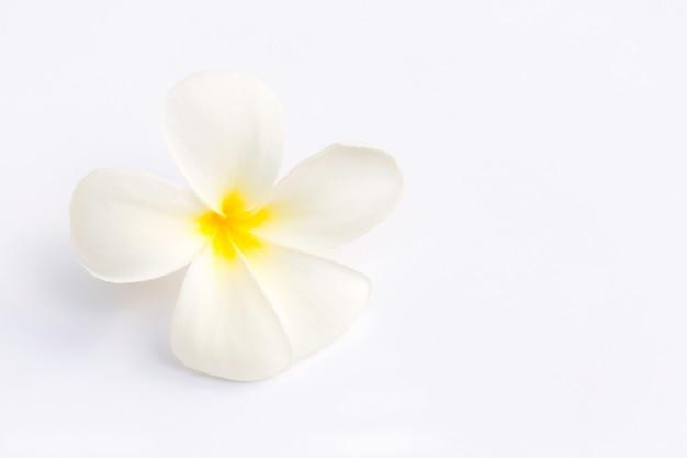 Biały frangipani (plumeria) kwiat na białym tle