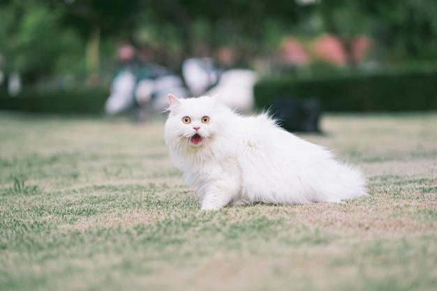 Biały futrzany kot perski w ogrodzie podekscytowany wyjściem z domu