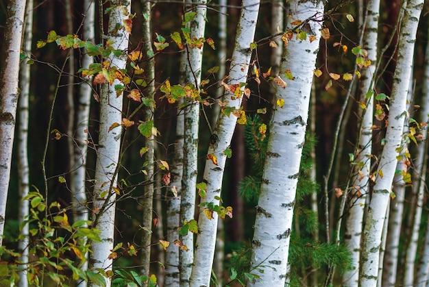 Biały gaj brzozowy w lesie mieszanym, zbliżenie młodych pni drzew
