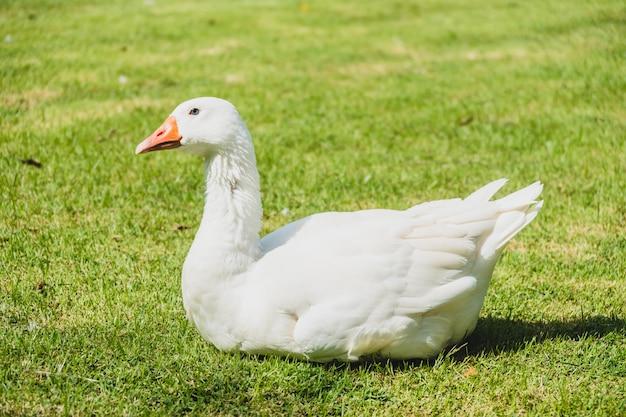Biały gęsi ptak