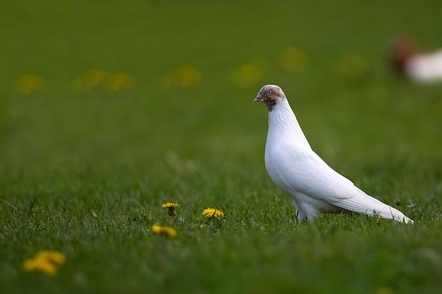 Biały gołąb na polanie