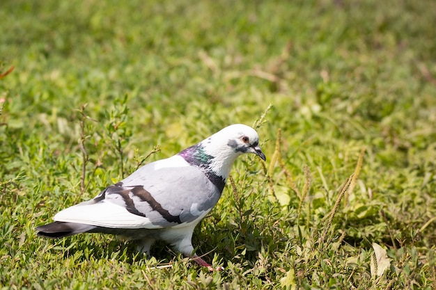 Biały gołąb na trawie