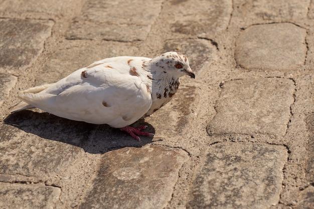 Biały gołąb na ulicy w promieniach słońca.