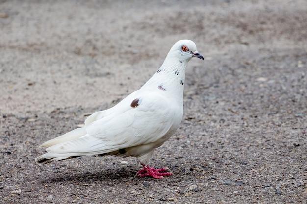 Biały gołąb w mieście na asfalcie szuka pożywienia