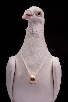 Biały gołąb z obrączkami na szyi na białym tle w czarnej ścianie.