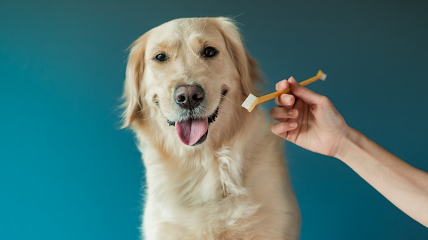 Biały golden retriever przygotowywający czyścić zęby na białym tle