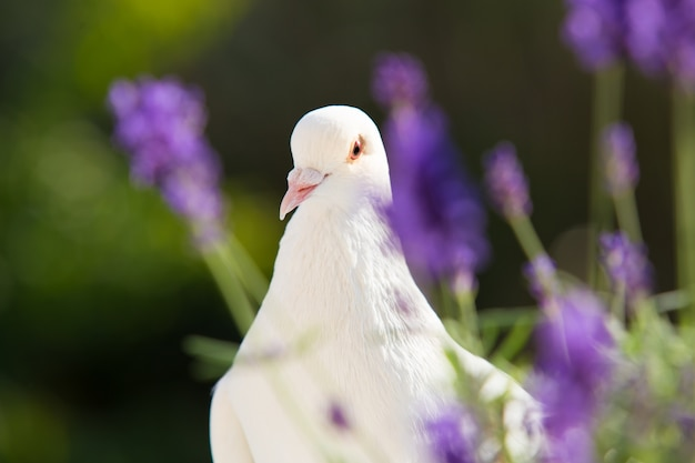 Biały gołębica zbliżenie.