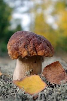 Biały grzyb. grzyb cep rośnie w lesie jesienią.