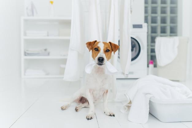 Biały i brązowy pies gryzie praną bieliznę wiszącą na suszarce do ubrań
